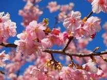 河津桜スポットは堂ヶ島から車で約1時間ほどです!
