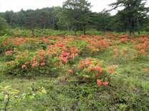 湯の丸高原 レンゲツツジ 山肌を鮮やかな朱色の絨毯のように染め上げます。6月中旬~7月上旬が見頃