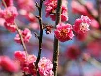 ■四千坪の庭園■一月には梅が咲きはじめます!