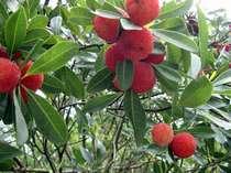 収穫した山桃は食前酒としてお楽しみください(山桃は7月上旬~中旬)