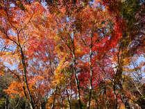 紅葉の見頃は11月中旬以降です。