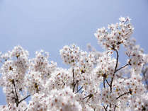 桜の見ごろは4月初旬です。