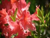 初夏の高原に咲くレンゲツツジは6月が見頃です。