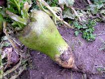 当館で使用する野菜は自家製無農薬★青菜やモロヘイヤ、水菜、大根などなど・・・栄養たっぷりです♪