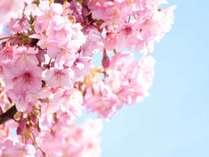 河津桜2月中旬頃。毎年、三浦では河津桜まつりが開催されます。