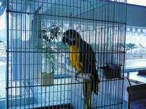 フロントロビーにてお客様をお出向かいをしていますルリコンゴウインコのボクちゃんです。