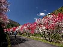 開花予想4/15~4/24♪3色のはなももの花が皆様をお迎えいたします。