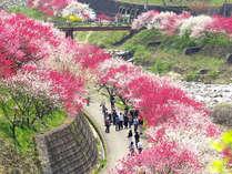 4/20~5/12花桃祭り開催です!昼神温泉周辺の花桃もちょうど見頃♪