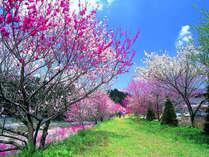昼神温泉周辺の花桃は、毎年GW頃見頃を迎えます。