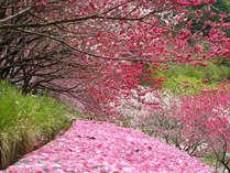 満開の花桃と花びらの絨毯。3色の彩りを是非御覧ください。
