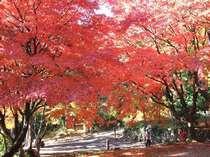 真紅に染まる秋の鶏足寺は人気のスポット!例年11月下旬が見ごろ。