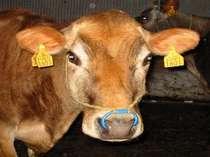ホビーのジャージー種の乳牛