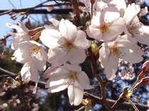 身延のしだれ桜で春を楽しむ♪春のスウィーツプレゼント付♪♪