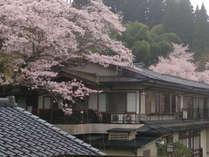 桜に囲まれた石庭。