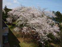 客室から見える桜(4月上旬頃)