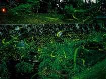 湯郷温泉ホタルの里(5月下旬~6月下旬)初夏の清流を飛びかう蛍の乱舞は自然界からのイルミネーション
