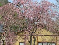 ★【春のお花見】しだれ桜やシャクナゲが見えるお部屋確約プラン / 花見風呂&フレンチを愉しむ♪