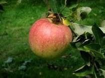 三瀬の自然が育む美味しいりんごを楽しめるりんご園まで車で30分!