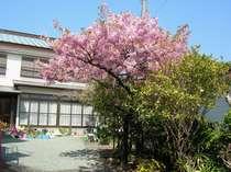 庭の河津桜です。二月中旬から三月上旬まで4週間弱位咲いてます。