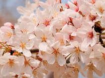 【春爛漫】河津桜&伊豆高原桜まつりへ愛犬とお出掛け♪2大特典付きお花見プラン