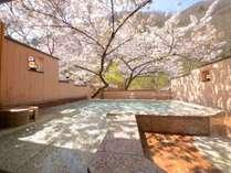 朝日を浴びた桜と、蓬山がキラキラと輝きます…