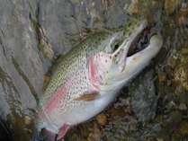 丸沼の虹鱒