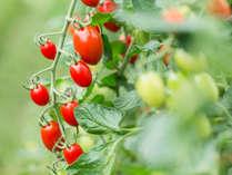 【日高の豊かな食材たち】トマト