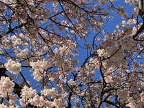 ~大寒桜2月中旬には見頃を迎えています♪~