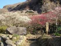 【湯河原特集】2019梅林入園券&甘酒無料券つき♪ぷらん 梅の宴2/2~3/10開催