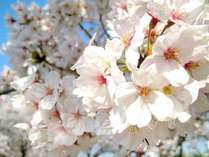 【お花見】桜シーズン限定★特典付★伊勢海老+海の幸
