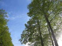 天空 ブナの新緑