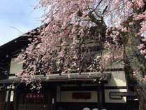 当館前には桜の巨木があり、毎年4月15日前後が見頃です