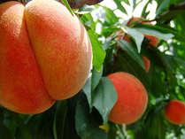 【夏の果実狩り『もも狩り』】 みずみずしく甘い食べ頃の桃を味わう◎体験プラン/離れ露天風呂付客室