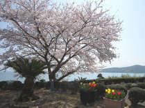 当館の庭に咲く桜。この時期に泊まらないと見られません!