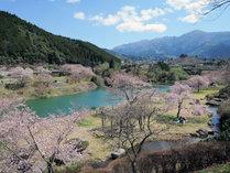 【3月中旬~4月上旬】市房ダムの周りに約1万本の桜!熊本の誇るお花見スポット☆