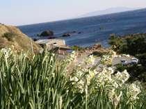 海を望む爪木崎の水仙