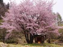 【春】山桜