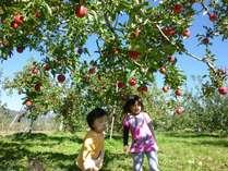 リンゴ狩り風景