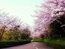 湯ノ浦の桜並木 *例年3月下旬から4月上旬に開花します。