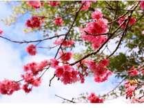 1月から2月にかけ緋寒桜が見頃!ソメイヨシノと違った魅力をお楽しみください♪