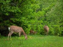運が良ければ鹿の親子と遭遇できるかも?野生の動物との出会いも当ホテルならでは