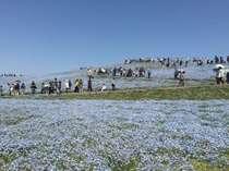 国営ひたち海浜公園4月上旬~5月中旬一番最高です。ネモフィラ車で5分