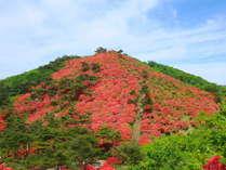 【徳仙丈山】徳仙丈山の山ツツジ、実際の景色は圧巻です、山が真っ赤に燃えています