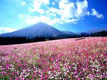 【生駒高原のコスモス祭り】例年では9月下旬~10月下旬が見頃です。当館からお車で約50分。