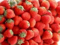 【イチゴ狩り】春を先取り!美味し~い苺を30分間食べ放題♪