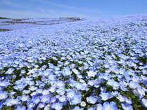 ひたち海浜公園のネモフィラハーモニー。丘一面の青の絶景!車で8分
