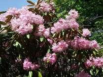 散策路に咲くシャクナゲ