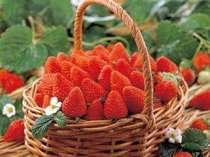春のいちご狩り♪粒の大きいイチゴは30分食べ放題です。