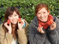 原田農園でいちご春のいちご狩り♪粒の大きいイチゴは30分食べ放題です。