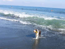 *ペットと宿泊OK/平塚海岸で気持ちよく水浴び♪いつもと違うお散歩にワンちゃんも興奮!